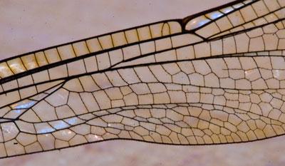 Teil eines Libellenflügels